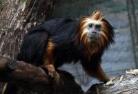 Golden Lion-Headed Tamarin