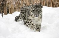 Female Snow Leopard