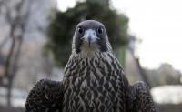 Sierra the Perigrine Falcon